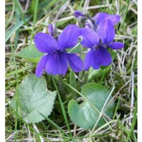 Фиалка (Blue Violet)