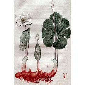 Корень Енота (Blood Root )