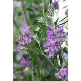 Алфалфа (alfalfa)